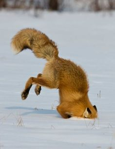 Good Christ the Fox burying in the Snow